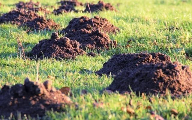 «поле битвы» вместо садового участка: как избавиться от поселившихся на нём кротов?