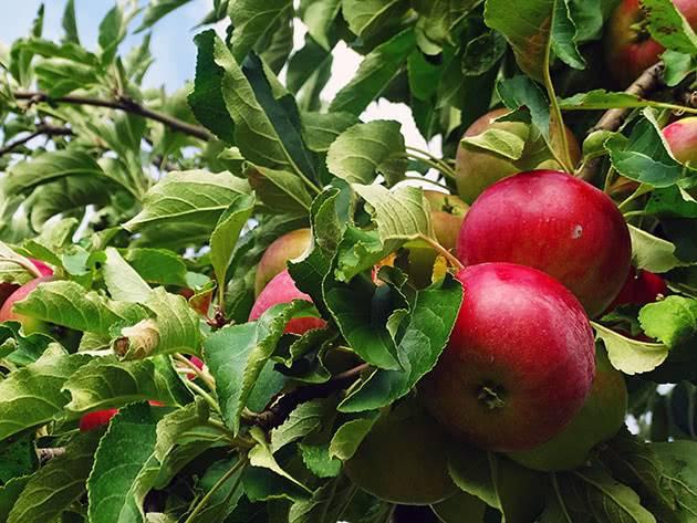 Карликовые яблони в моём саду — сорта и особенности выращивания. фото — ботаничка.ru