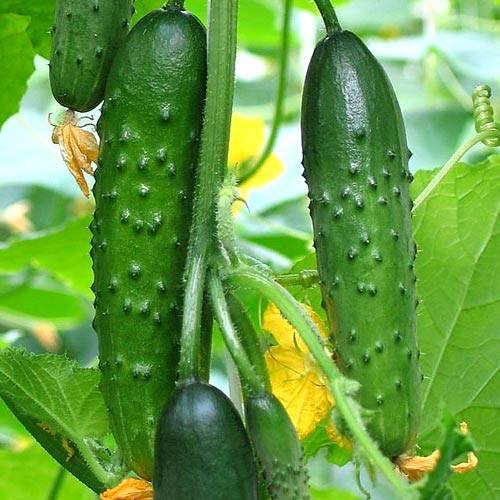 "Огурец ""зозуля"": характеристика, описание и выращивание сорта"