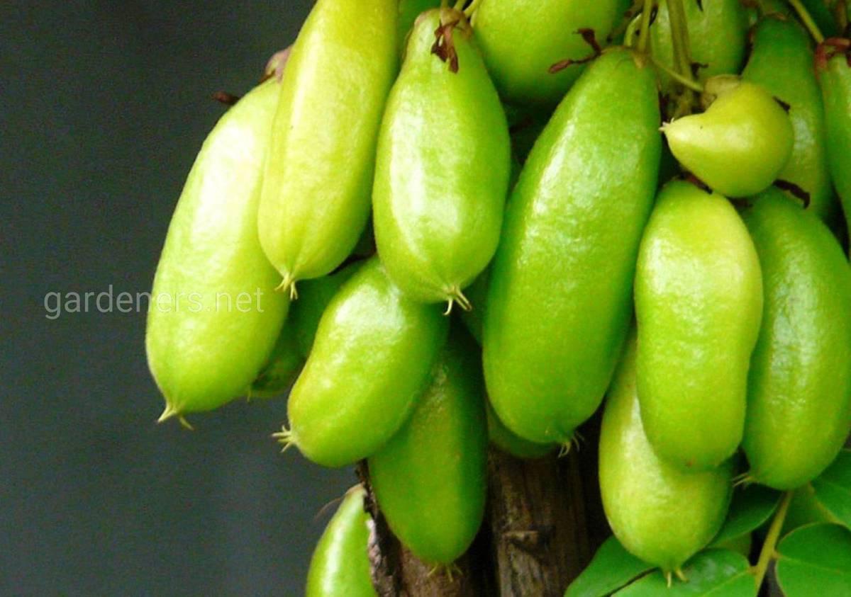 Билимби: польза, вред, как едят плоды огуречного дерева, рецепты