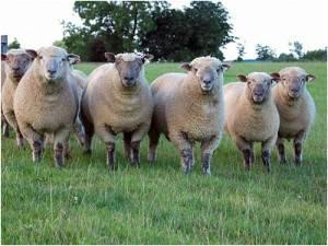 Овцы тексель - описание породы, преимущества и недостатки