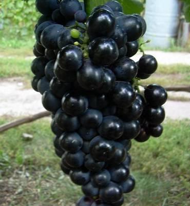 Виноград шахтер: описание сорта, фото, отзывы