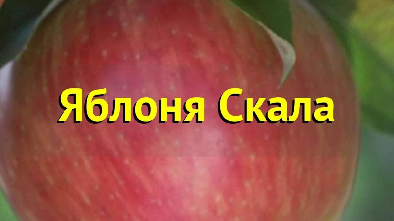 Яблоня скала: описание сорта и фото, особенности выращивания и ухода selo.guru — интернет портал о сельском хозяйстве