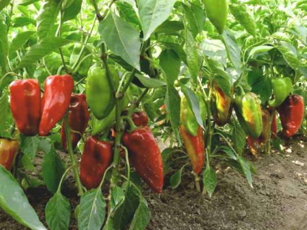 Шпаргалка для огородника: 10 шагов к большому урожаю перца в теплице