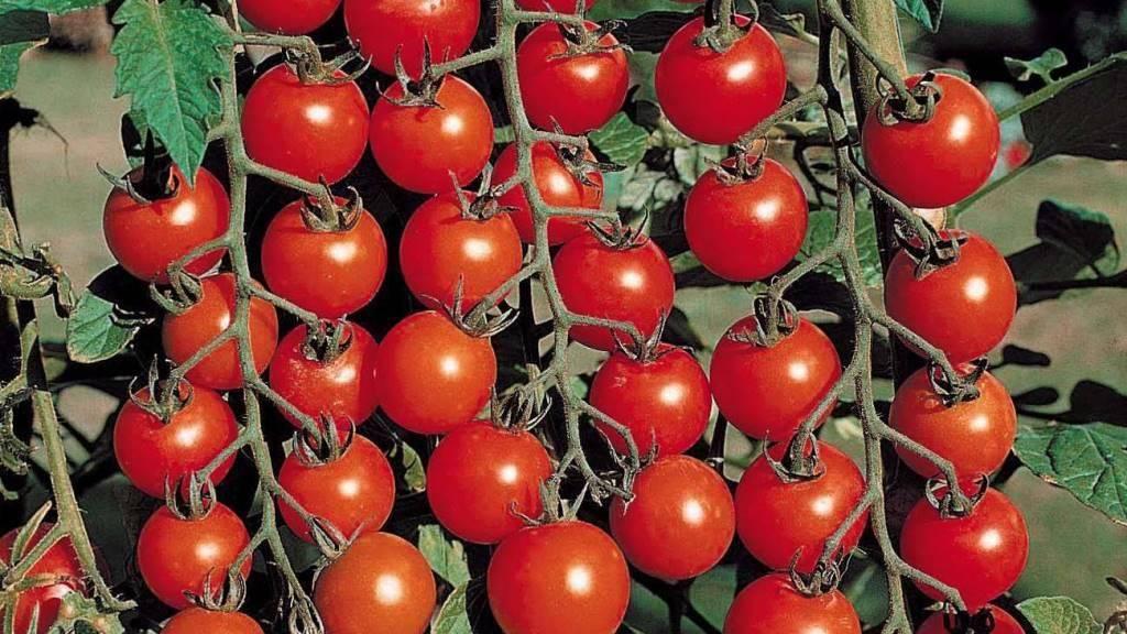 Сорта помидоров, устойчивые к фитофторозу, для открытого грунта и теплицы: фото, названия и описание лучших томатов для башкирии, подмосковья и ленинградской области русский фермер