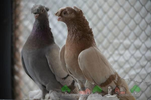 Что представляют собой узбекские голуби