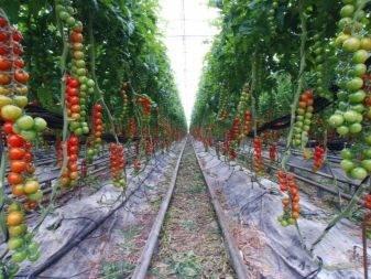Как подвязать помидоры в открытом грунте - лучшие способы и методы