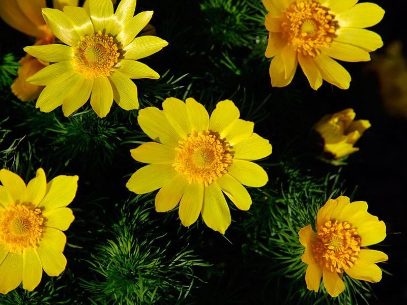 Адонис: выращивание в саду, виды и сорта