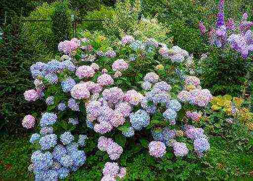 Посадка и уход за гортензией садовой в открытом грунте: выращивание, размножение, обрезка