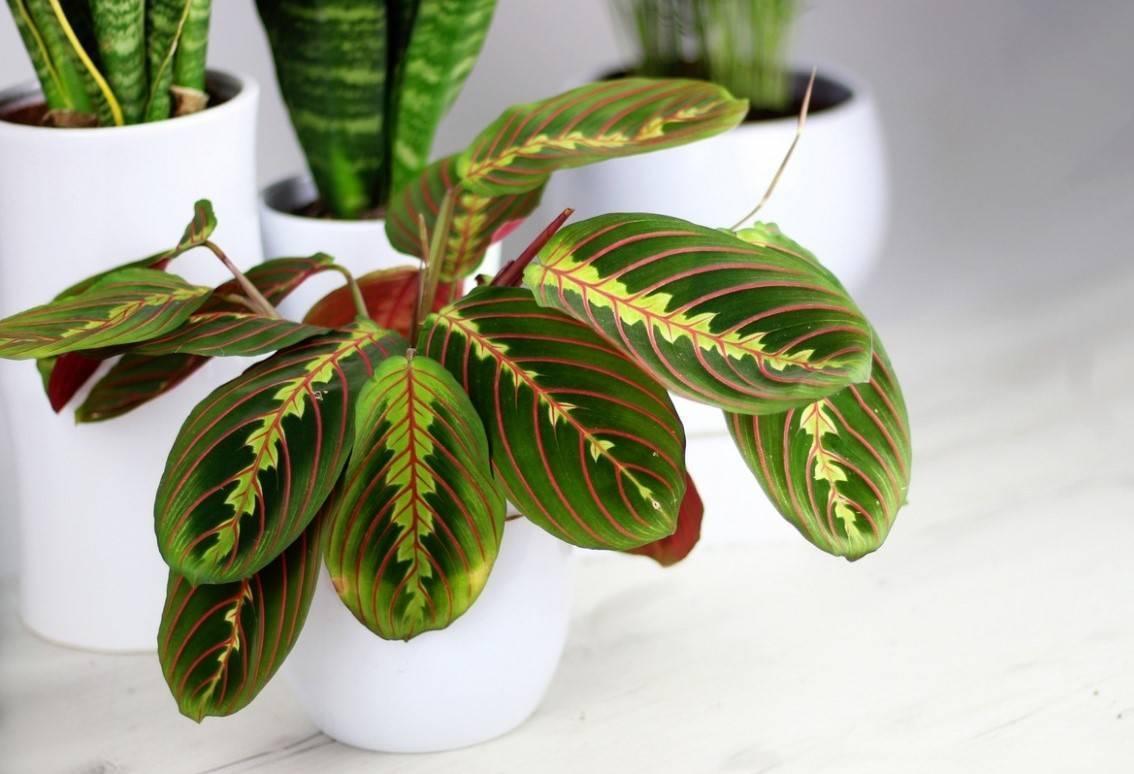 Марантовые комнатные растения (28 фото): маранта и другие цветы семейства марантовых. уход за ними в домашних условиях