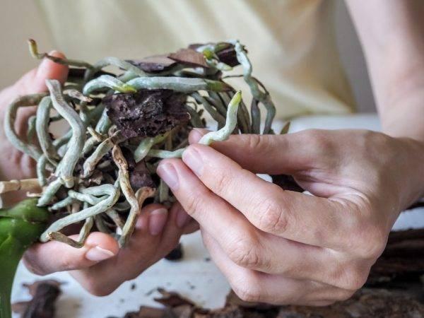 Лучший грунт для комнатной орхидеи — необходимый состав почвы и требования