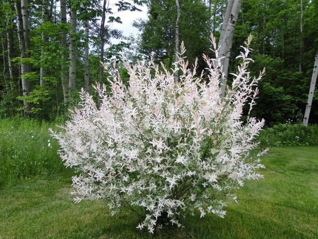 Особенности ивы шаровидной и ее выращивание