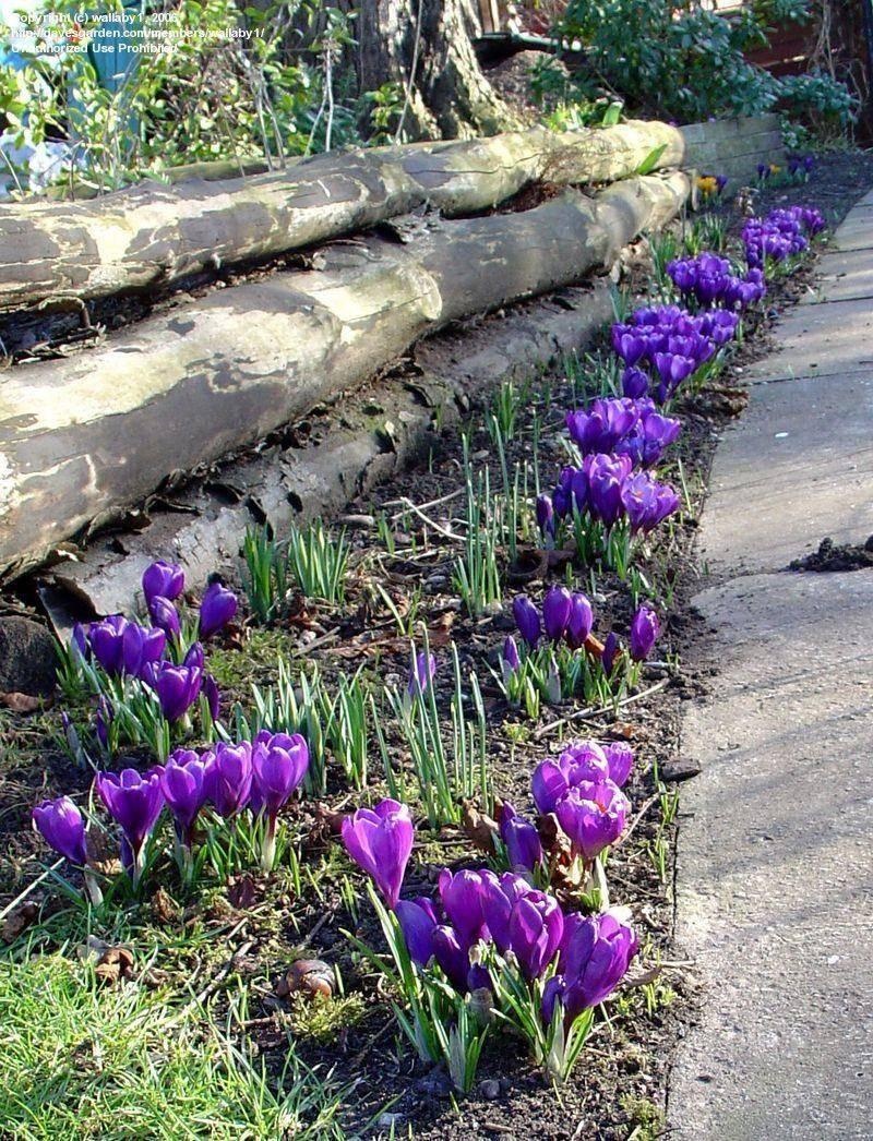 Крокусы: посадка и уход в открытом грунте, выращивание и сочетание в ландшафтном дизайне, фото, размножение сорта