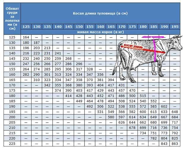 Сколько весит корова: вес коровы в среднем, а также несколько способов, как узнать вес без весов