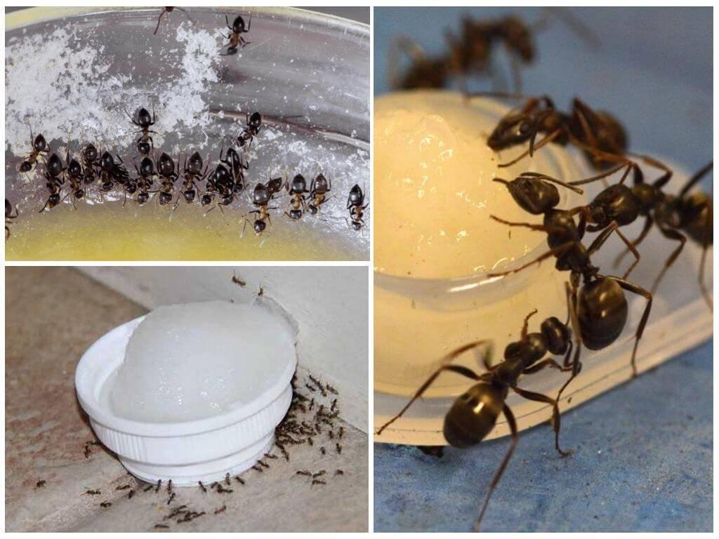 Как избавиться от муравьев в теплице навсегда, откуда они там берутся, какой вред наносят