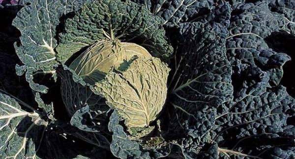 Самые урожайные и вкусные сорта капусты по мнению опытных садоводов