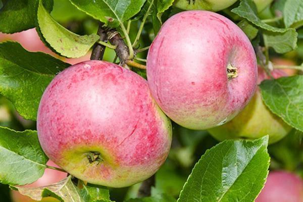Описание и фото яблони уэлси: особенности посадки и ухода за деревом, борьба с вредителями, отзывы