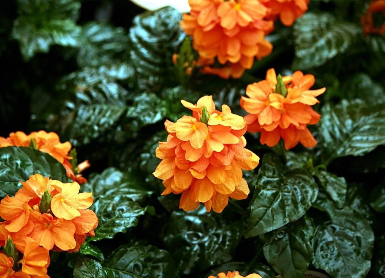 Кроссандра цветок уход в домашних условиях пересадка размножение