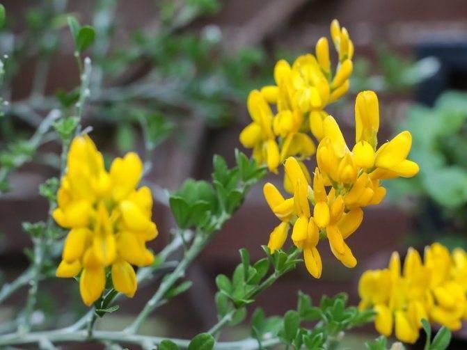 Растение ракитник