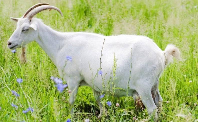 Признаки окота у козы: первые проявления и особенности поведения