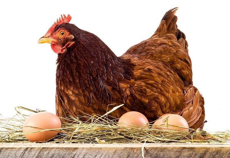 Как повысить яйценоскость кур. почему плохо несутся куры