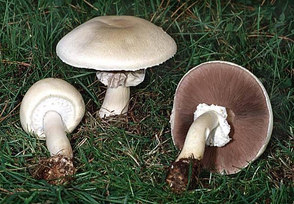 Шампиньоны – фото, описание, виды, где растут, свойства