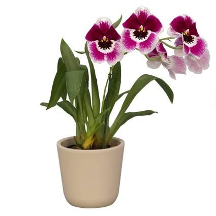 Орхидея мильтония: фото и видео, уход в домашних условиях, пересадка, как поливать и подкармливать