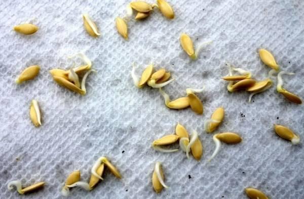 Как быстро прорастить семена огурцов в домашних условиях