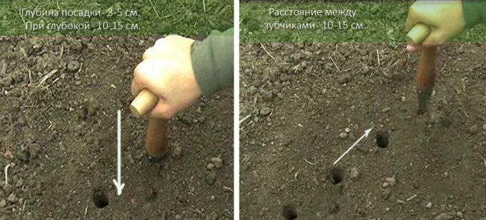 Выращивание чеснока, технология выращивания чеснока