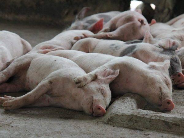 Станок для опороса свиноматки своими руками, чертежи и размеры