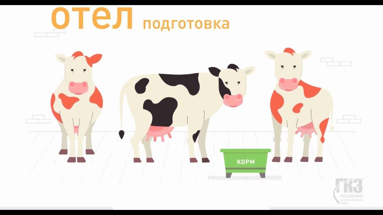 Сухостойный период у коров: продолжительность