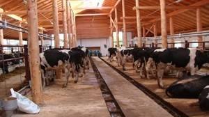 Как правильно построить коровник (сарай для коров) своими руками