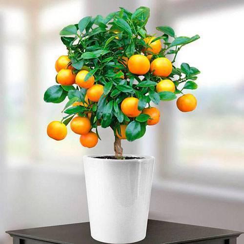 Как вырастить апельсин (дерево) из косточки в домашних условиях как вырастить апельсин (дерево) из косточки в домашних условиях