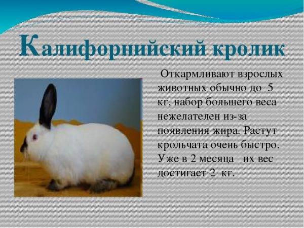 Кролики калифорнийской породы — описание, кормление и содержание, перспективы разведения. | cельхозпортал