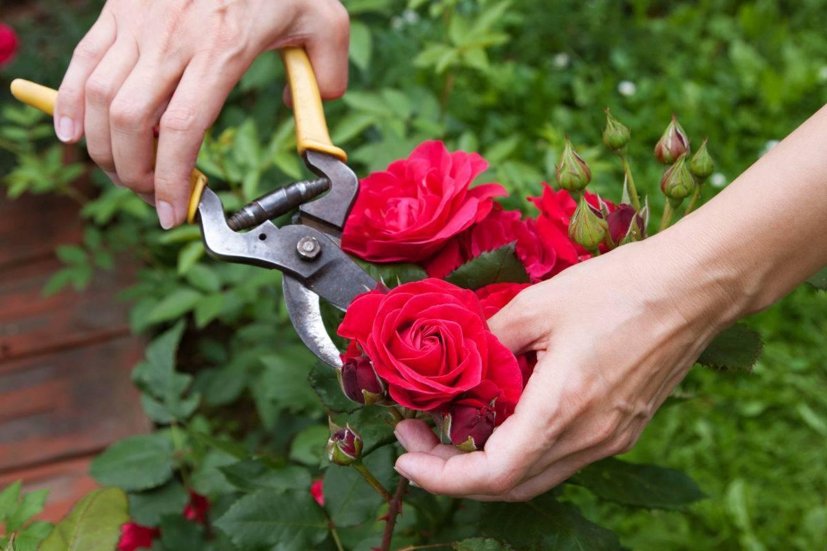 Подготовка и укрытие роз на зиму различными способами