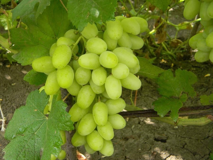 Виноград ландыш - описание сорта, фото, отзывы