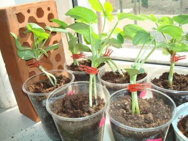 Как вырастить богатый урожай тыквы в подмосковье