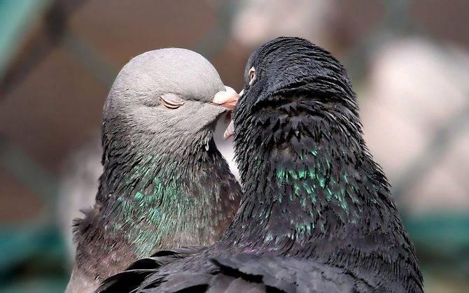 Как отличить голубя от голубки - основные способы