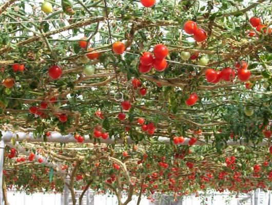 Что такое помидор: это ягода или овощ?