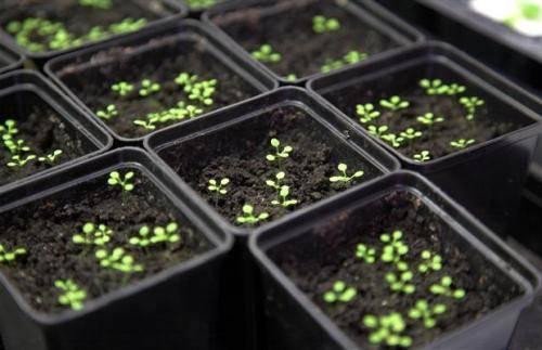 Петунья: уход и выращивание в домашних условиях, пересадка в открытый грунт, вертикальные клумбы для петунии своими руками