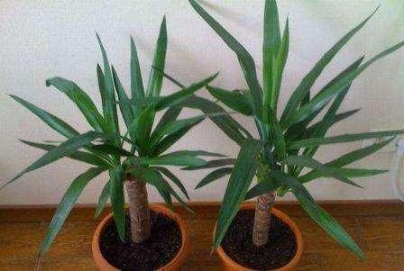 Пальма «Юкка»: уход и выращивание в домашних условиях