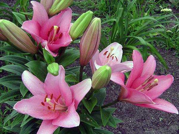 Правила посадки лилий весной в открытый грунт