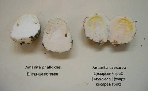 Где растет цезарский гриб (царский гриб), его описание и сходные виды