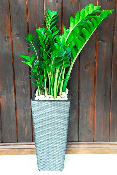 Выращивание замиокулькаса в домашних условиях: основные способы, размножение листом и ветками