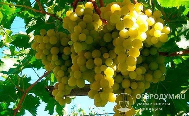 Виноград валек: описание сорта с характеристикой и отзывами, особенности посадки и выращивания, фото