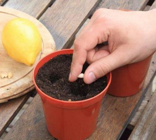 Как грамотно привить лимон в домашних условиях