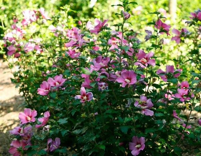 Цветы китайская роза гибискус в домашних условиях и в открытом грунте: фото и технология выращивания