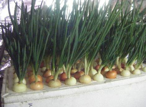 Выращивание лука на гидропонике в домашних условиях