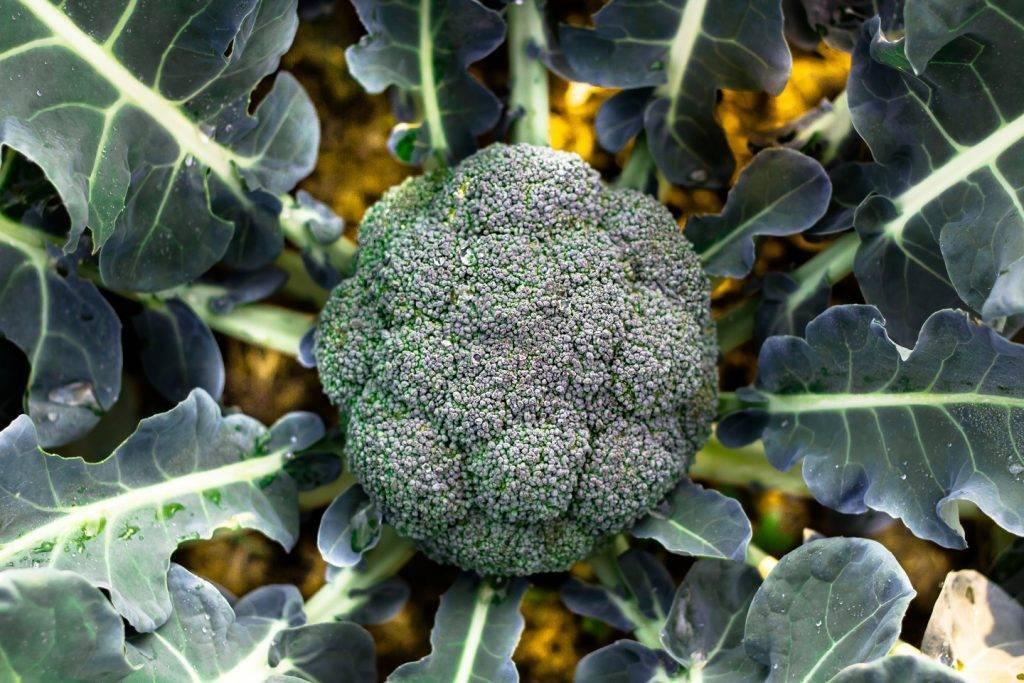 Капуста брокколи: выращивание и уход в открытом грунте из семян и рассады: пошаговая инструкция