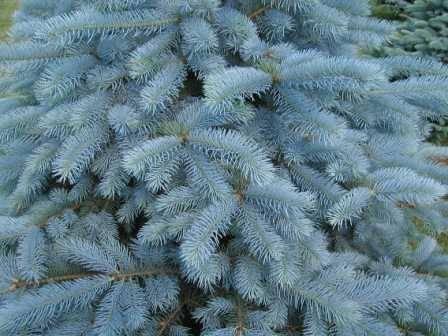 Голубая ель посадка и уход, фото, выращивание в открытом грунте, размножение и сочетание в ландшафтном дизайне
